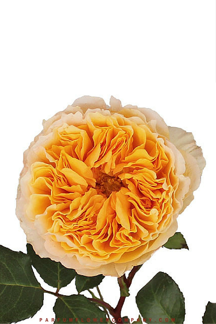 Garden Roses David Austin Luxury Collection » BEATRICE »