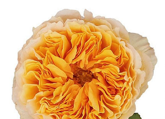 "Garden Roses David Austin Luxury Collection "" BEATRICE """