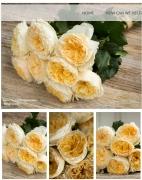 david_austin_wedding_rose_beatrice__180x180