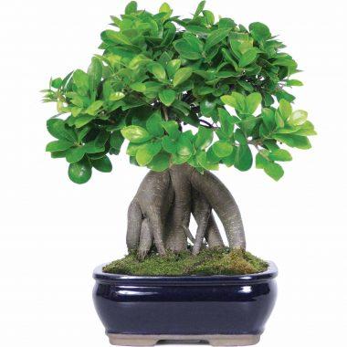 Φυτά -Bonsai -plants