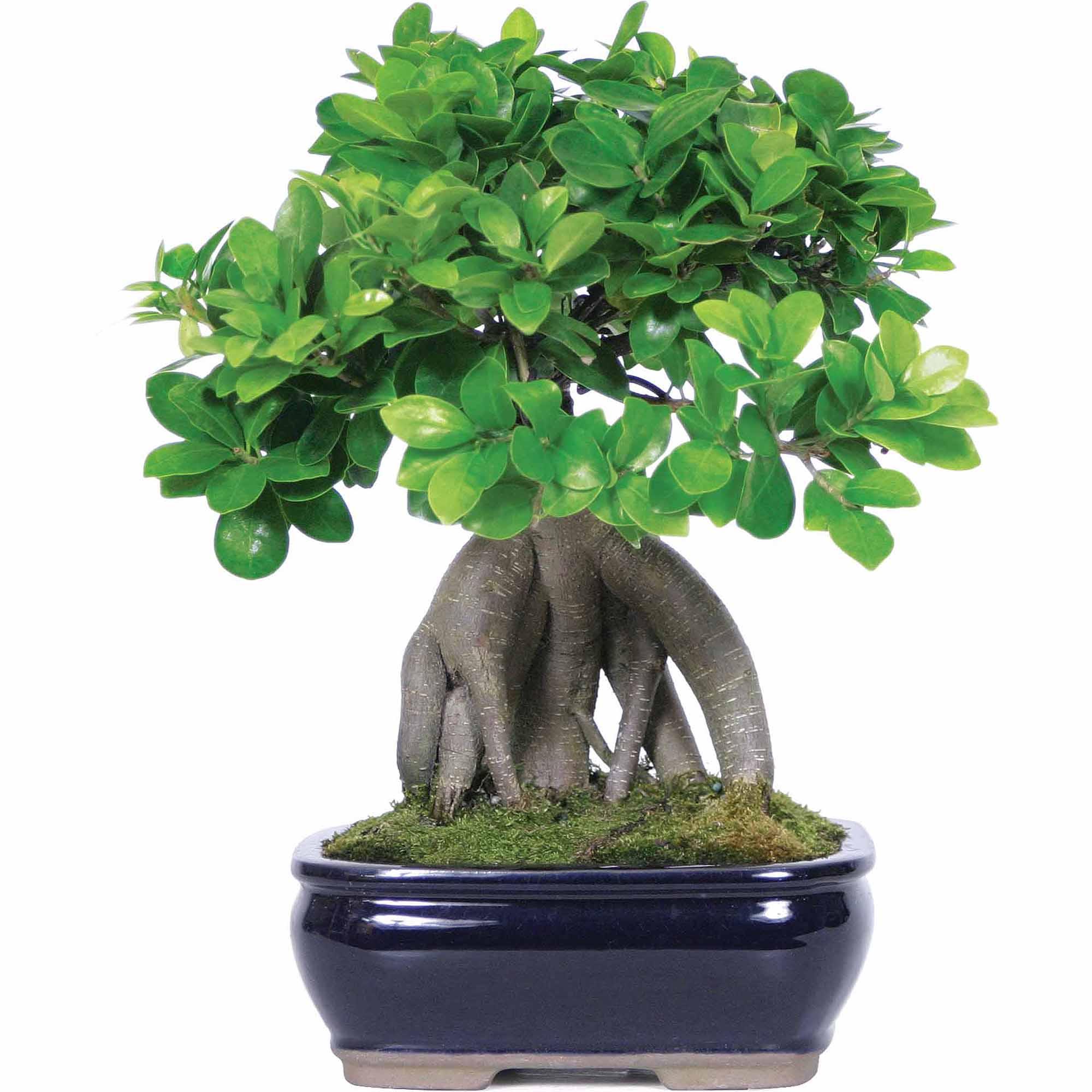 Φυτά -Bonsai