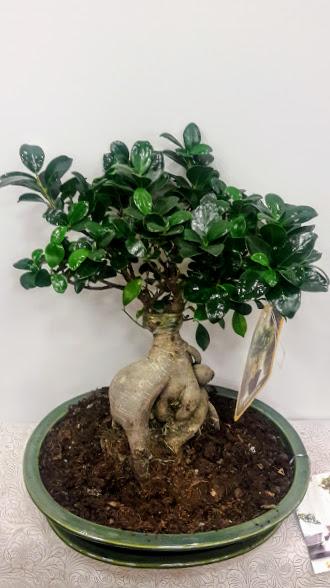plants bonsai ginseng ceramic pot 50 cm medium size 60