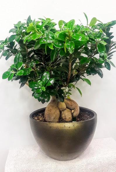 plants bonsai ginseng ceramic pot 60 cm medium size 80