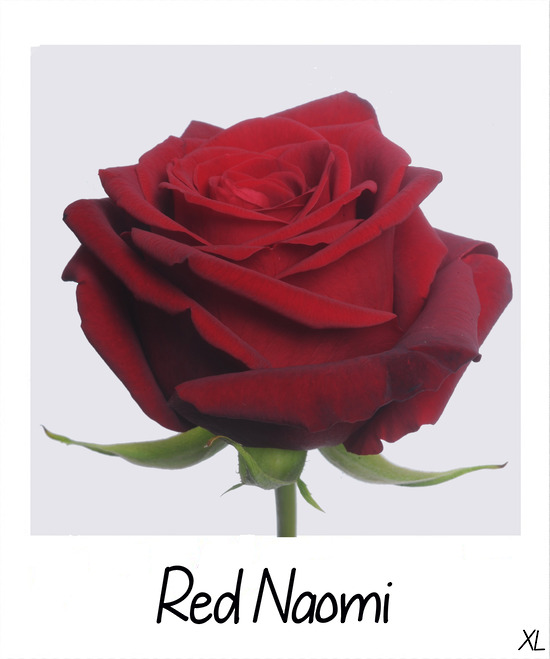 Roses Red Naomi High Quality