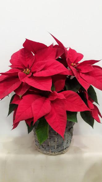 christmas plant basket manilla