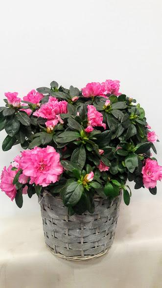 plant azalea basket