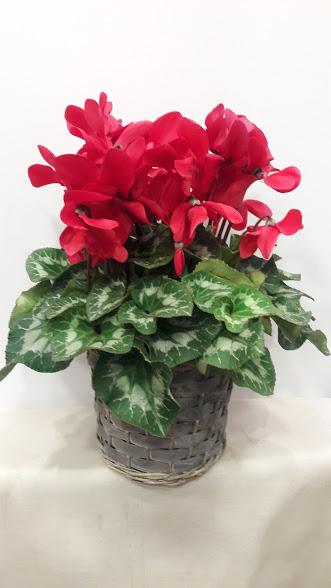 plant cyclamen basket manilla