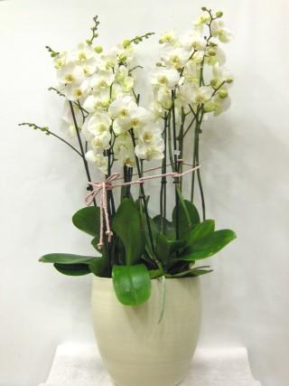 Paradise white orchids