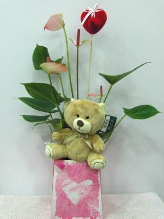 Valentine plants Anthurium love teddy bear