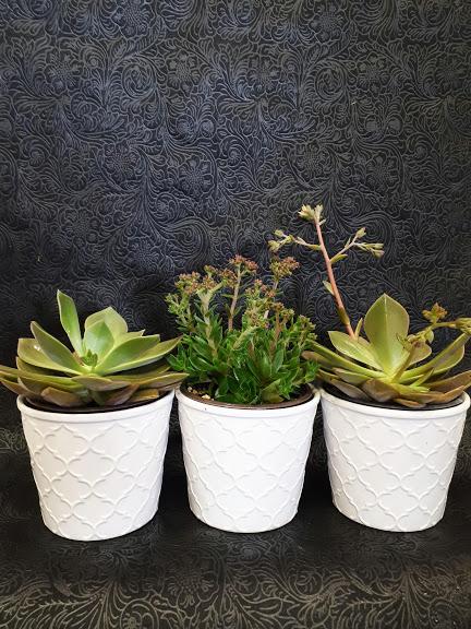 παχύφυτα -group of succulents 1