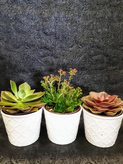 παχύφυτα -group of succulents