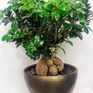 Φυτά Μπονσάι  Plants Bonsai