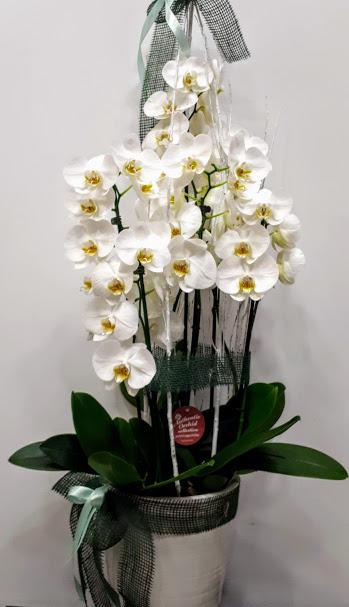 ορχιδέες λευκές με κεραμικό δοχείο orchid plant with pot