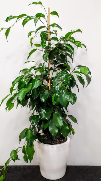 φυτό εσωτερικού χώρου Φύκος plant interior ficus