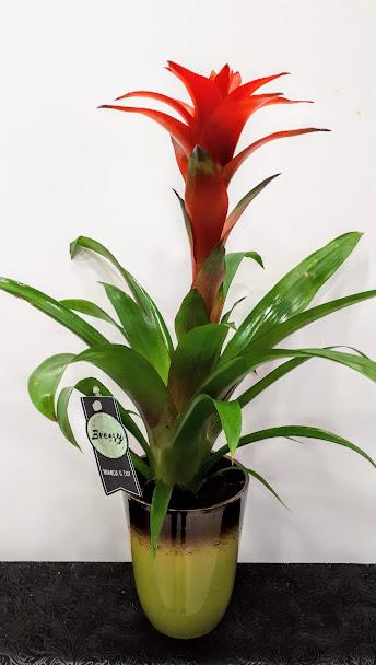 φυτό εσωτερικού χώρου interior plant Bromelia