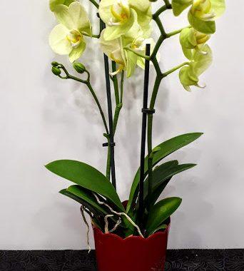 φυτό ορχιδέα mini orchid plant 45cm