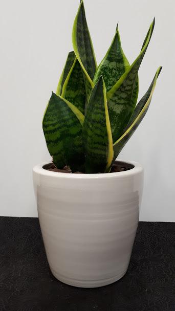 Sansevieria trifasciata φυτό Σανσιβέρια
