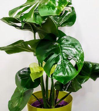 plant interior φυτό εσωτερικού χώρου Μονστερα