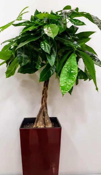 plant interior φυτό παχύρα
