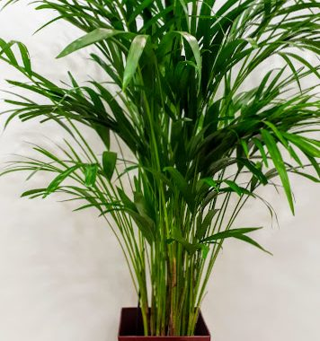 plant interior Chrysalidocarpus