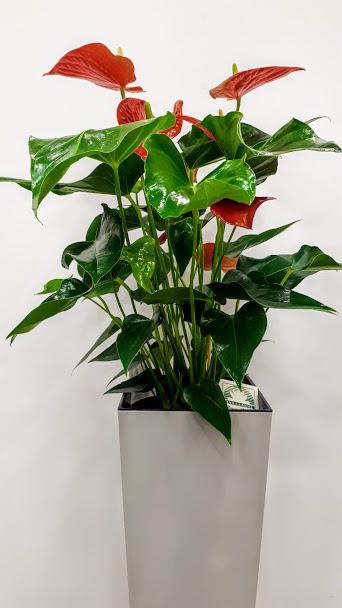 plant interior anthurium φυτό ανθούριο