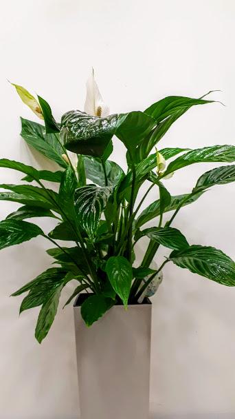 φυτό εσωτερικού χώρου σπαθίφυλλο plant interior spathiphyllum