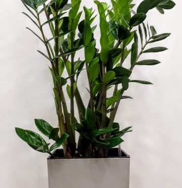 plant interior zamia Ζαμια
