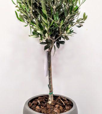 plant olive φυτο ελιά