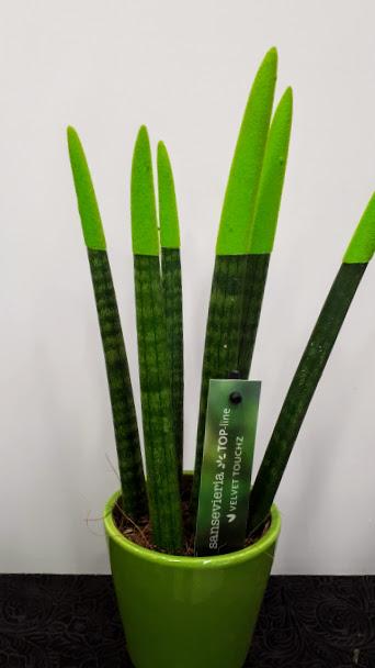 sansevieria green velvet touch