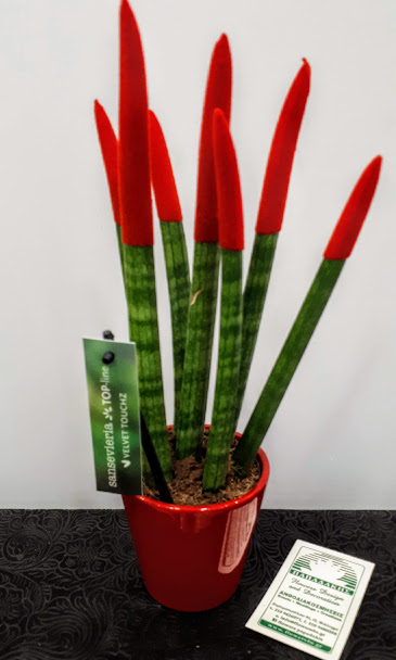 sansevieria red velvet touch