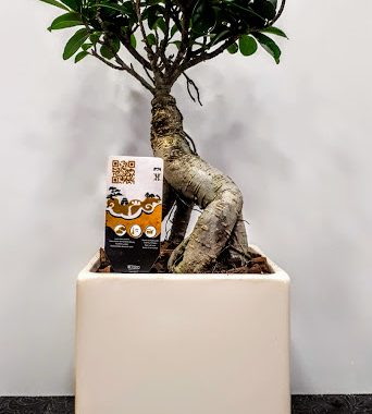 bonsai ficus 30 εκ