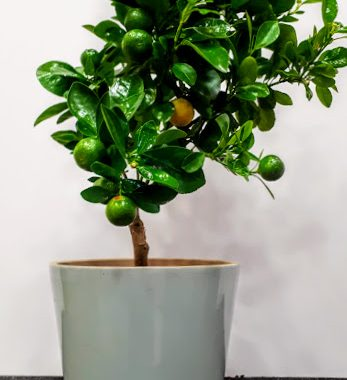 kalamontin φυτό πορτοκαλια νανος