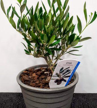 plant olive ελια 30cm