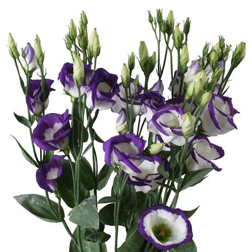 lisianthus-echo-bleu-picote palaiokrasa 3